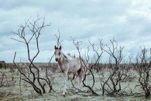 Povestea cailor de la Letea