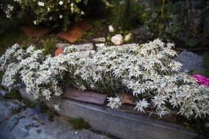 Ce este floarea-de-colt si unde creste