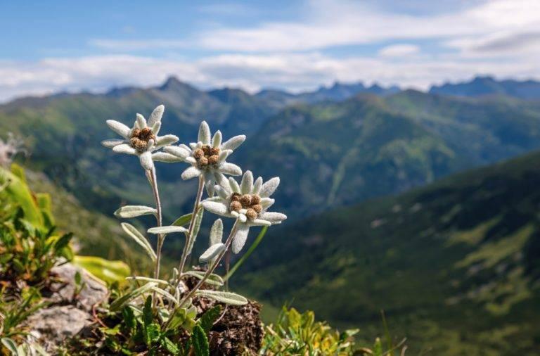 Floarea de colt