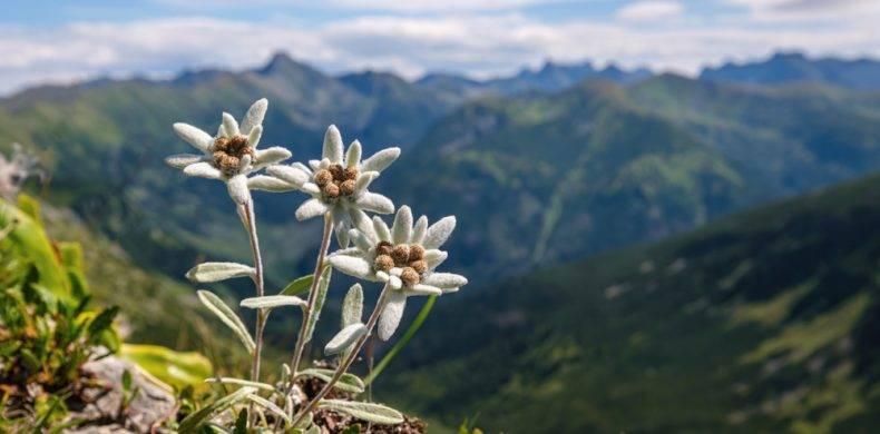 Floarea-de-colț: ce este și unde o poți vedea în România